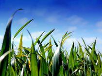 Junger Mais. von Zarahzeta ®