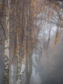 Birken im Nebel von blende007