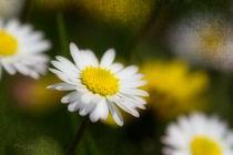 Sunny Daisy by Nicc Koch