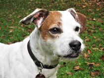 Jack-Russel-Mischling by assy