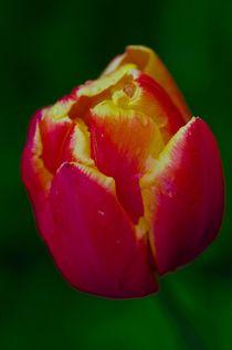Tulpe Rot / Gelb von atelier-kristen