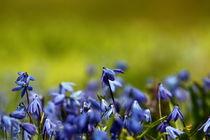 Blue snowdrops von zlange