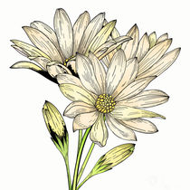 Daisy Flowers by mikart