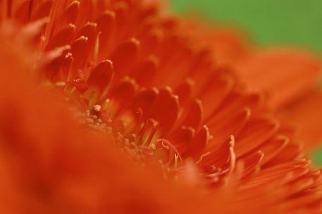 Gerbera-orange-2017-002f