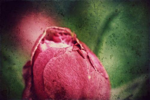 Rote-rose-2017-001q