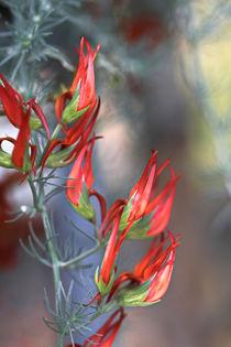 Lotus bertholetii by Bernhard Kaiser