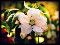 Mock Orange flower copyright  Mary Lee Parker 17,  by Mary Lee Parker
