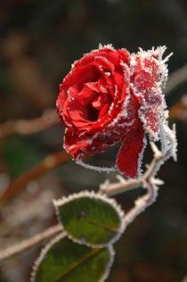 Rote Rose gefroren zu Weihnachten von Heinrich Winkelmann