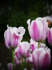 Tulpe und eine Fliege by Wladimir Zarew