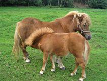 Ponyfohlen trinkt bei der Mutter by assy