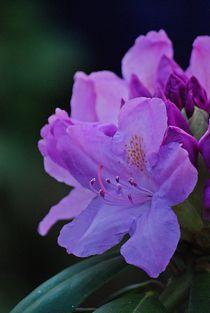 'Rhododendron... 26' von loewenherz-artwork
