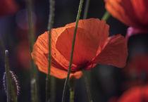 Poppy by h3bo3
