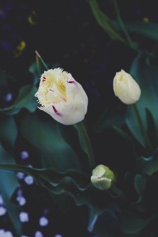 Tulip-irynamathes