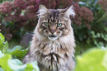Maine Coon / 94