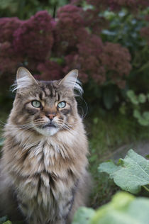 Maine Coon / 91