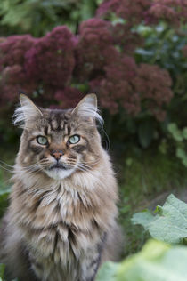 Maine Coon / 90 by Heidi Bollich