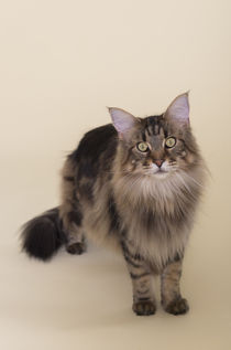 Maine Coon / 92 by Heidi Bollich