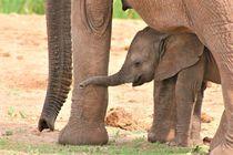 süßes Elefantenbaby von assy
