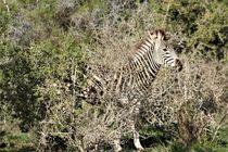 gut getarnt das junge Zebra von assy