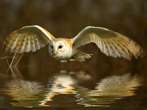 Barn Owl with reflection von Bill Pound