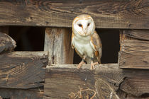 Barn Owl 01 von Bill Pound