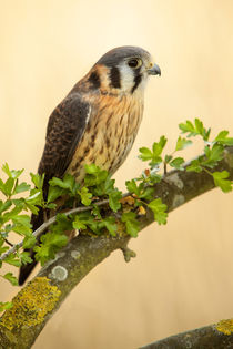 American Kestrel  (Falco sparverius) by Bill Pound