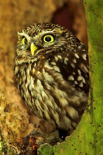 Little Owl  (Athene noctua)  by Bill Pound