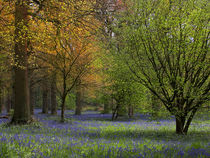 Blickling Bluebells by Bill Pound