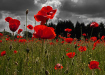 Poppy Field by Bill Pound