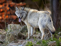 European Wolf by Bill Pound