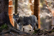 European Wolf 02 by Bill Pound