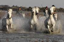 Camargue Horses by Bill Pound