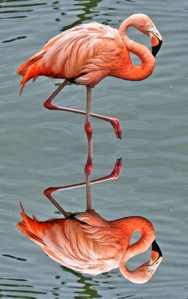 Flamingo1a