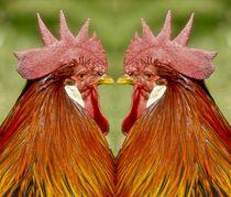 Hahnen Duell von kattobello