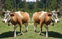 Kuh Trennung von kattobello