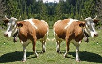 Kuh Trennung by kattobello