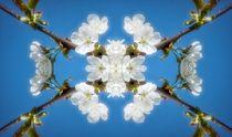 Kirschblüten Traum 1 von kattobello
