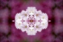 Kirschblütenträume 1 von kattobello