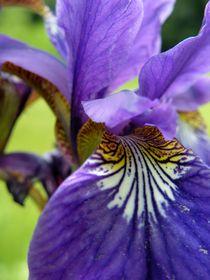Iris II by art-dellas