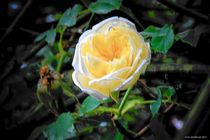 gelbe Rose by art-dellas
