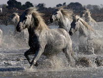 Camargue Horses 02 by Bill Pound
