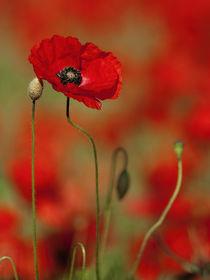 Single Poppy von Bill Pound