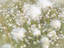 Wollgras wiegt sich im Wind von kerliham-foto