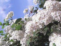 Weiße Blütenpracht im Sonnenschein von Sarah Ziegler