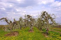 Obstbaumblüte im alten Land von magdeburgerin