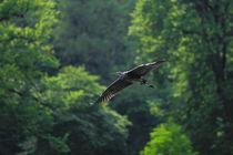 Gleitflug zwischen Bäumen by Bernhard Kaiser