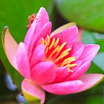 Käfer auf der Seerosenblüte von Bernhard Kaiser
