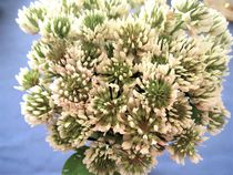 Weißklee-Blüten by assy