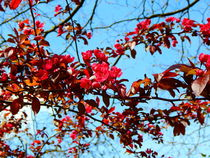 Zarte rote Blüten. by Zarahzeta ®