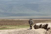 Zebra walk by Martina  Gsöls